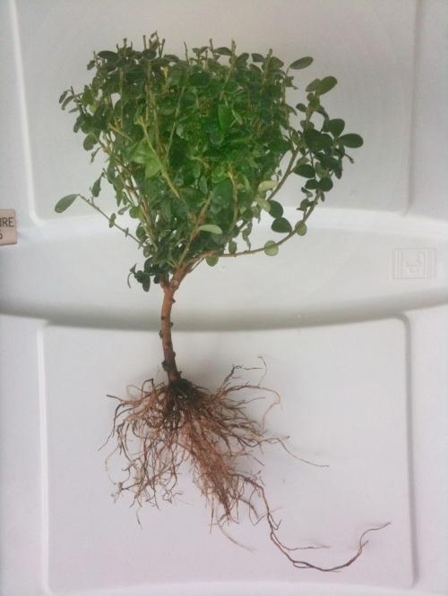 Ursprungsmaterialet, med jorden bortrensed från rötterna.