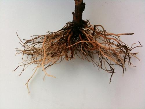 Rötterna efter beskärning. En del rekommenderar en mera u-formad rotbeskärning, men jag vill ha alla de stora rötterna utåt åt sidorna, för att senare kunna plantera på ett något annat vis. Vi får hoppas att det också fungerar.