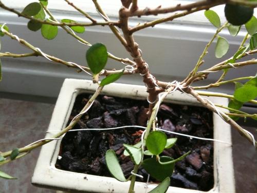 """Nu har plantan stoppats i jorden och grenarna beskurits. Ta bort grenar så att de inte sticker ut på samma höjd från stammen. Det ger bästa """"trädintrycket"""". Dessutom har grenarna lindats med silverbeklädd ståltråd och böjts ut för att börja växa in i sin framtida form. Likt ett träd snarare än ursprungsmaterialets buskliknande form. Det går också bra att använda koppar- eller aluminiumtråd. Bara den inte kan rosta. Och se till att inte ståltråden sitter för hårt runt grenar och stam. De ska ju kunna växa till sig."""