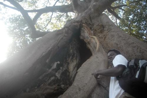 Vår guide Assan och ett jävulskt stort baobab-träd.